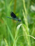 demoiselle calopteryx